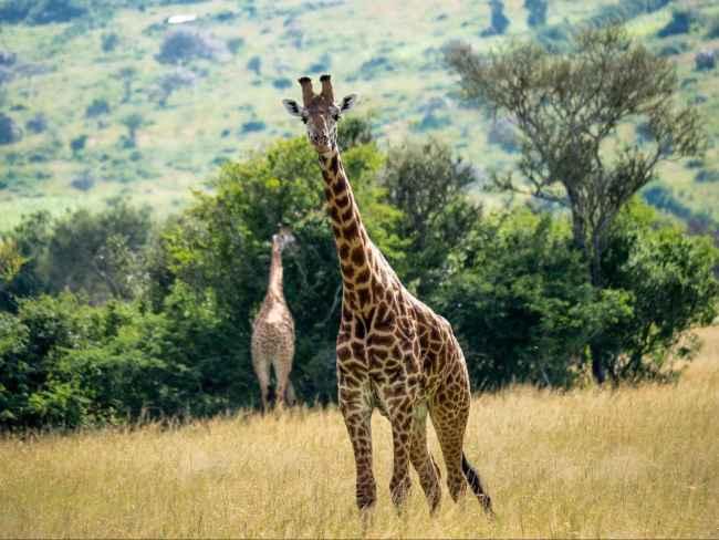 Giraffe at Akagera National park