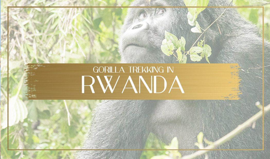 Gorilla trekking in Rwanda main