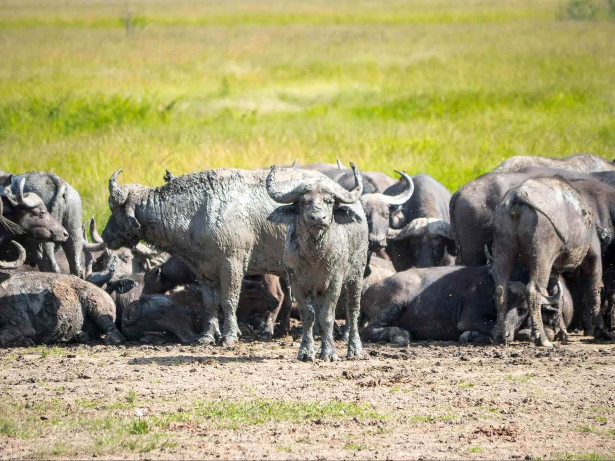 Herd of buffalo in Akagera National Park