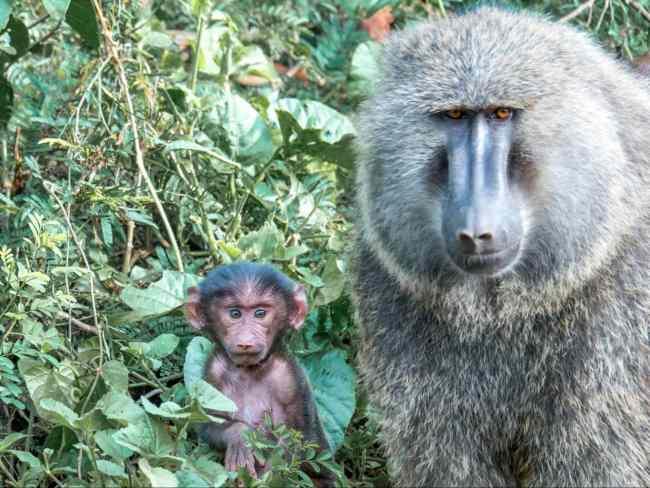 Monkeys at Akagera National park