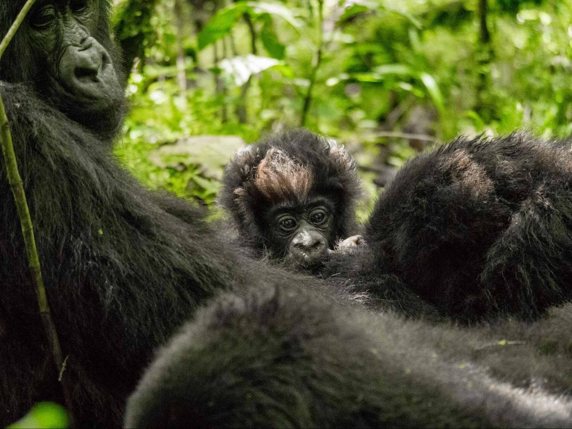 One month old baby gorilla playing with brothers, sisters and mommy
