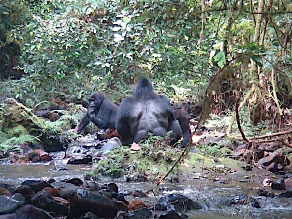 Our silverback in Rwanda