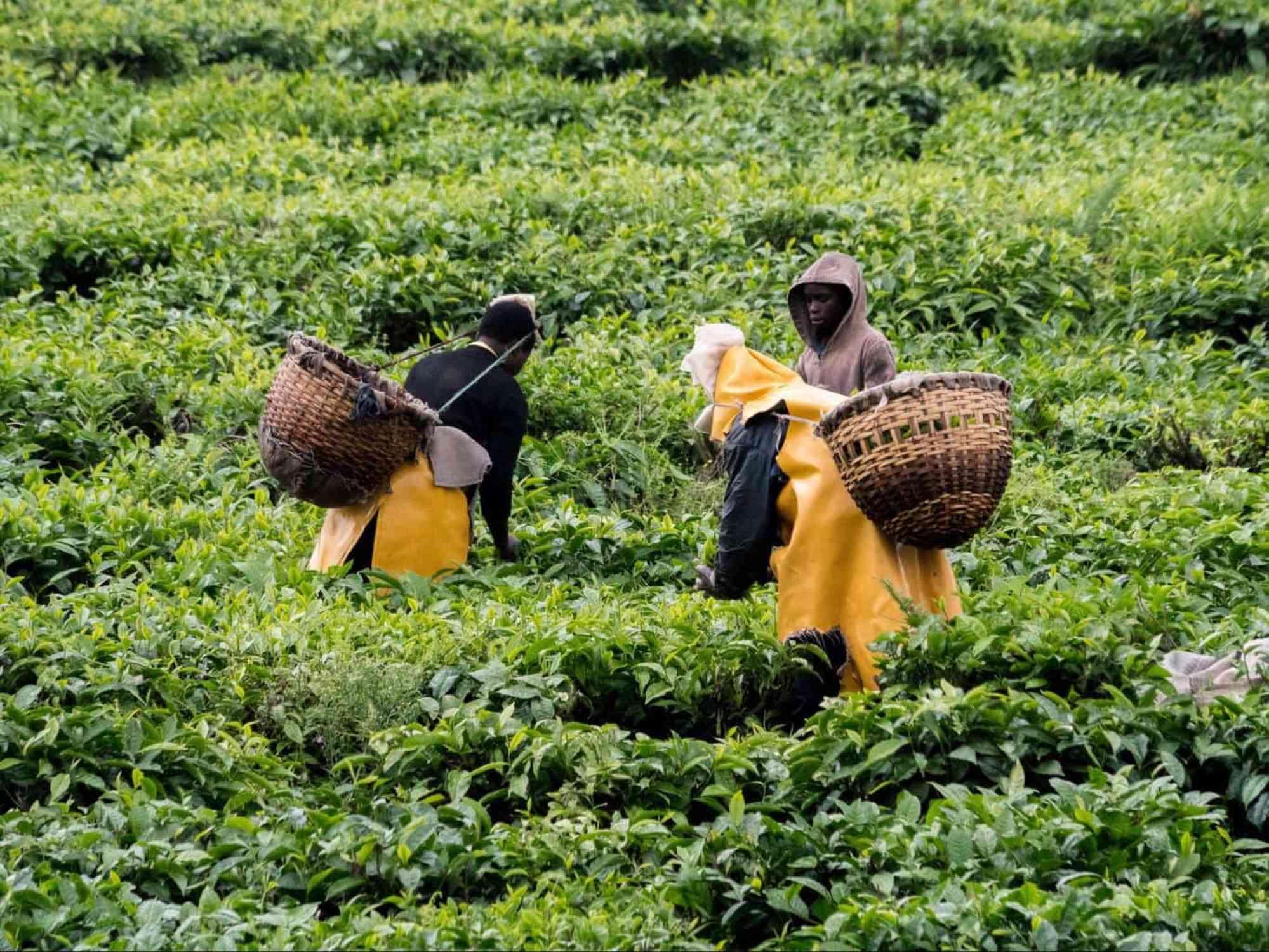 Tea plantation near Lake Kivu
