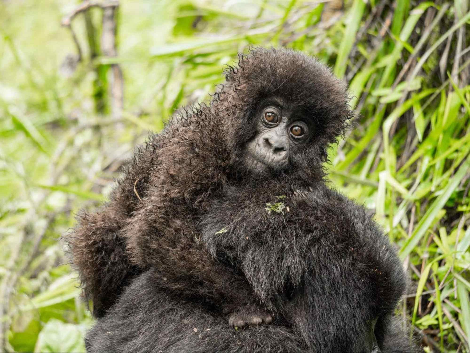 The ball of furry hair of a baby mountain gorilla