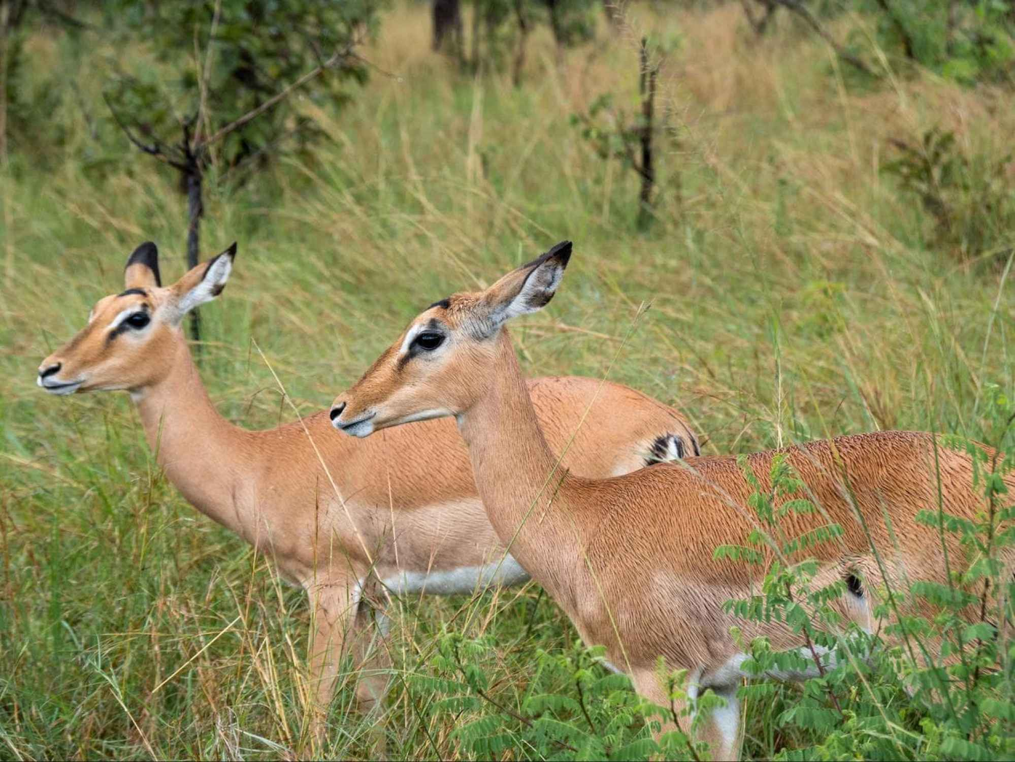 The deer in Akagera National Park
