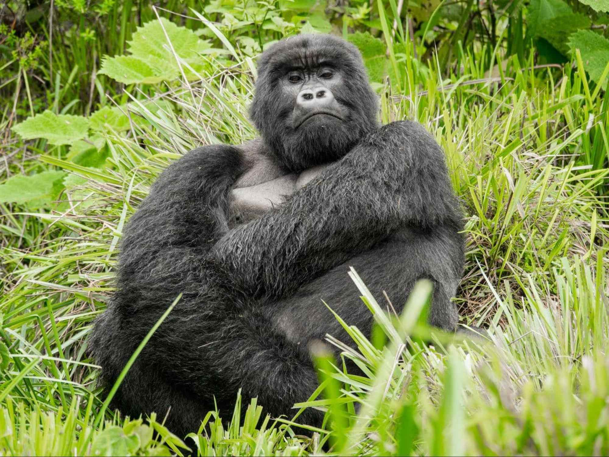 The silverback, calm but imposing
