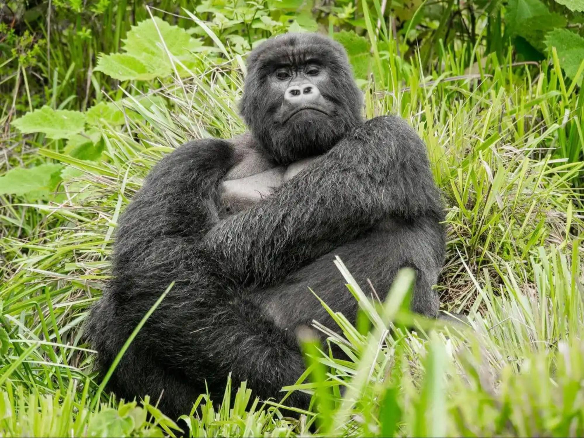 The silverback gorilla, imposing