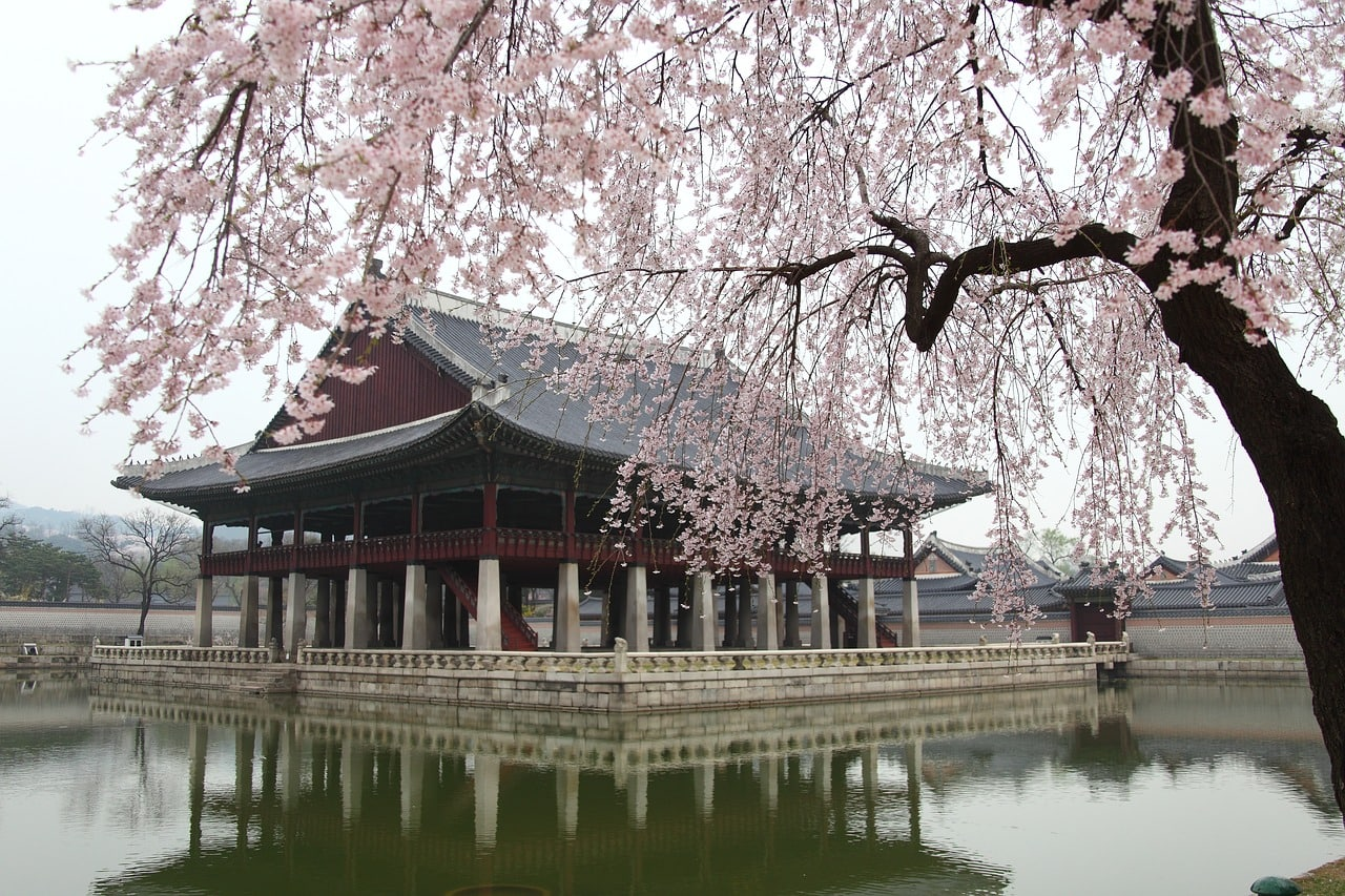 Cherry blossoms at Gyeongbuk Palace