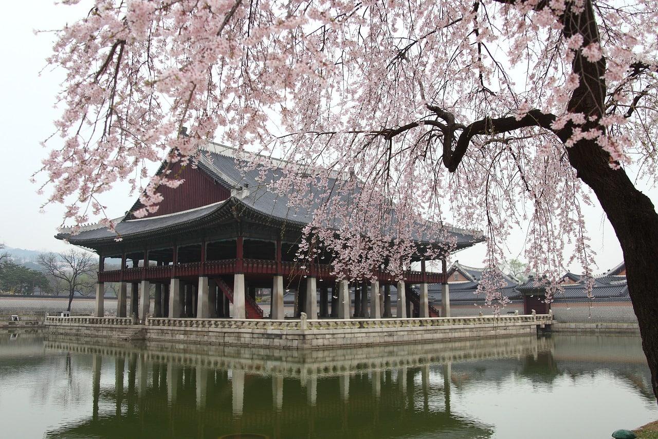 Cherry blossoms at Gyeongbuk Palace