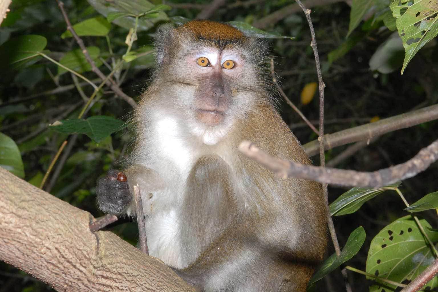 Monkey in Chek Jawa