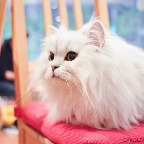 Hapineko Cat Cafe Japan