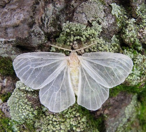 butterflywhitefrost  Once Wed