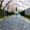滋賀県東近江市 繖山・繖公園(きぬがさ)でお花見