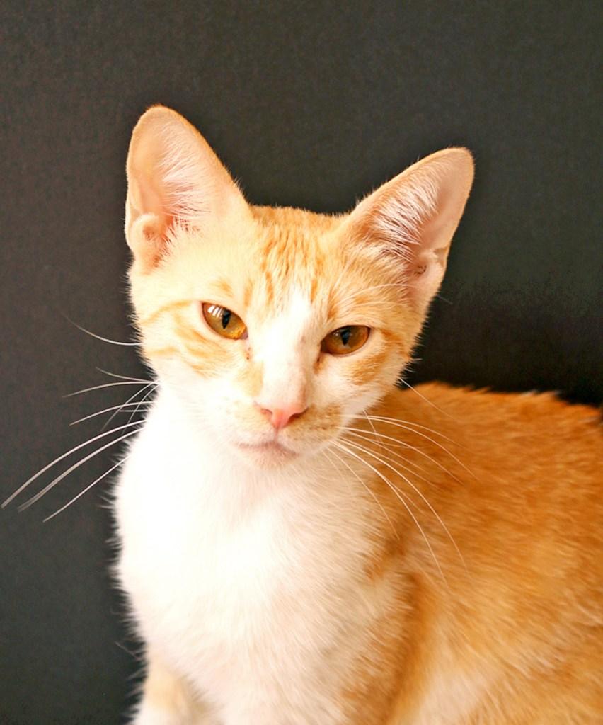 cinnamon-the-cat
