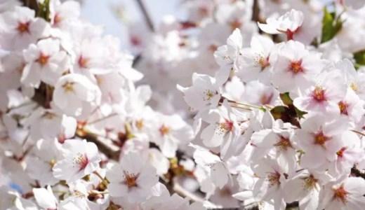 背割堤さくらまつり2020!【京都】駐車場や桜の種類、混雑状況まとめ(淀川河川公園背割堤地区の桜)