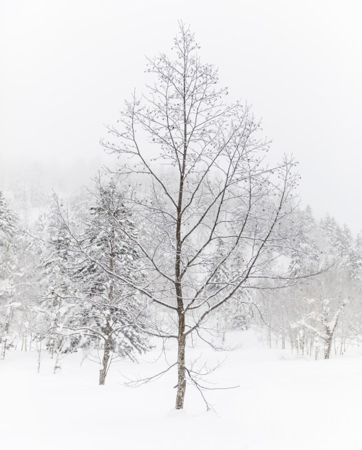 A landscape photo of a lonely tree among a forest covered in snow.