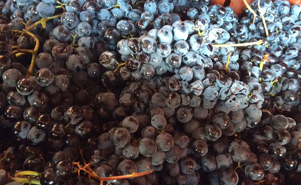 Grapes arrive freshly picked at Taylor's Port Nogueira winery