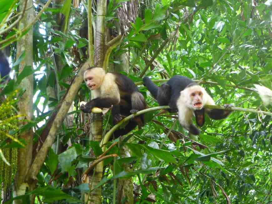 Monkeyin' around in Manuel Antonio National Park, Costa Rica