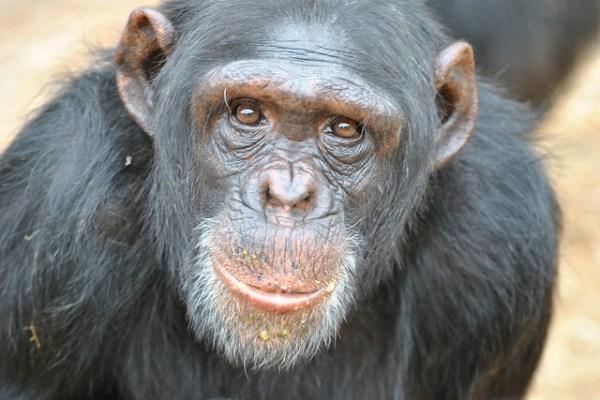 chimp lab animals
