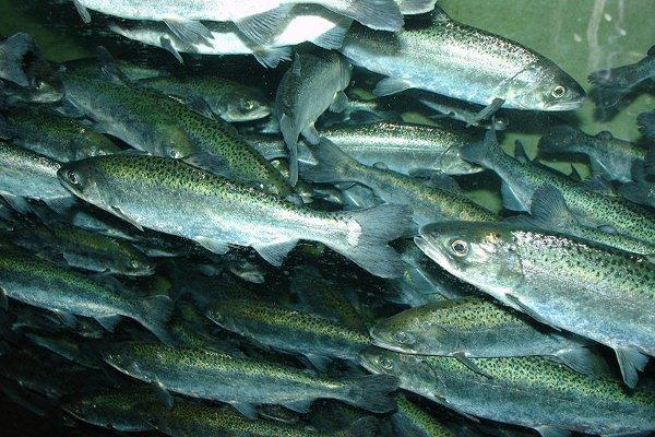 chinook salmon doomed