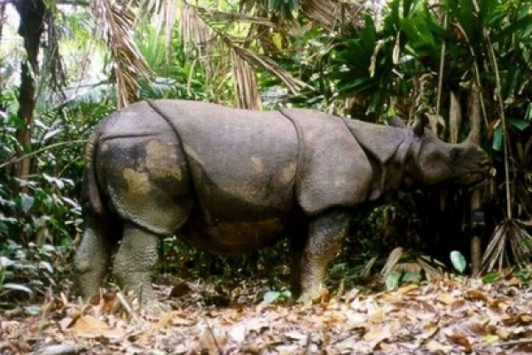 javan rhino extinct