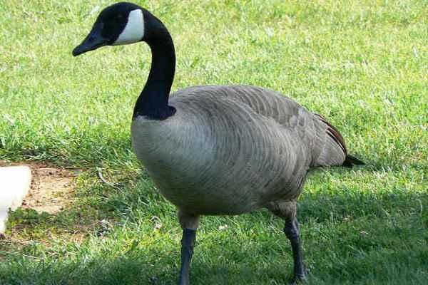 Foie gras ban california