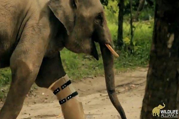 Elephant Prosthetic Leg