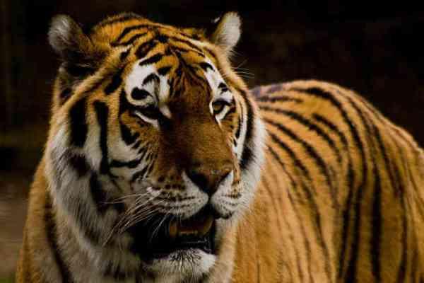 interpol save tigers_6