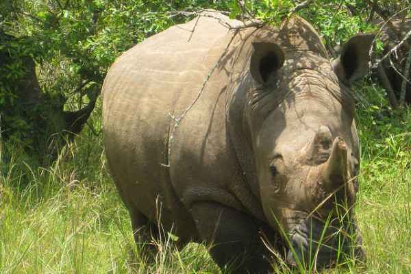 rhino poaching record high south africa