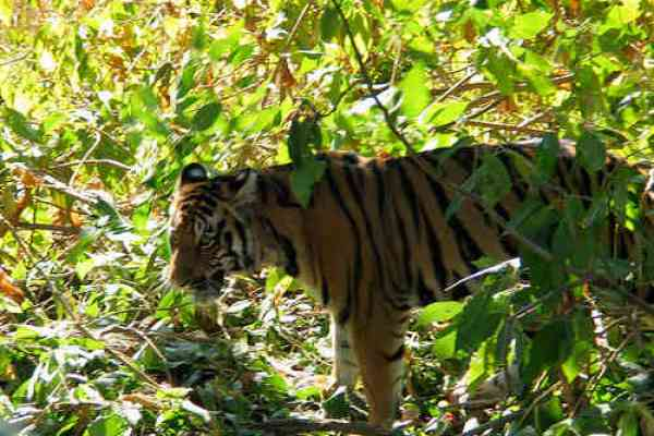 Protection Efforts Increased in India's Tiger Sanctuaries