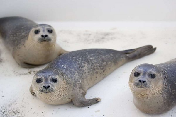 Baby Seals Rescued by Dutch Nursery