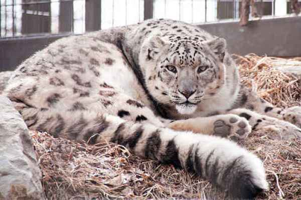 New Stem Cell Research May Save the Snow Leopard