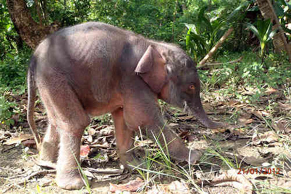 Pygmy Elephant Rescued on Island of Borneo