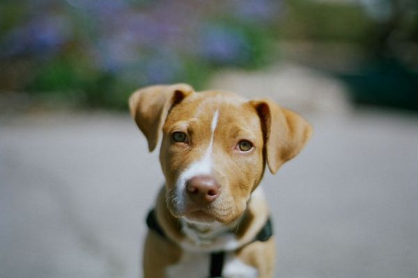 McDonald's Thinks Pit Bulls are More Dangerous than Chicken McBites