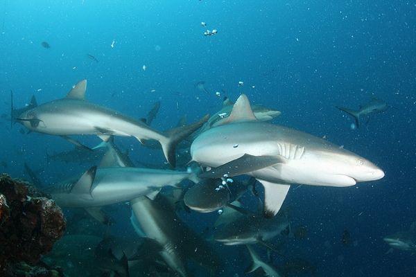 Sharks are Sociable!
