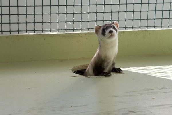 U.S. Naval Center Ends Ferret Cruelty