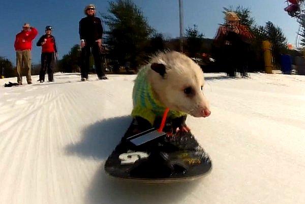 WATCH: Ratatouille, the Snowboarding Opossum