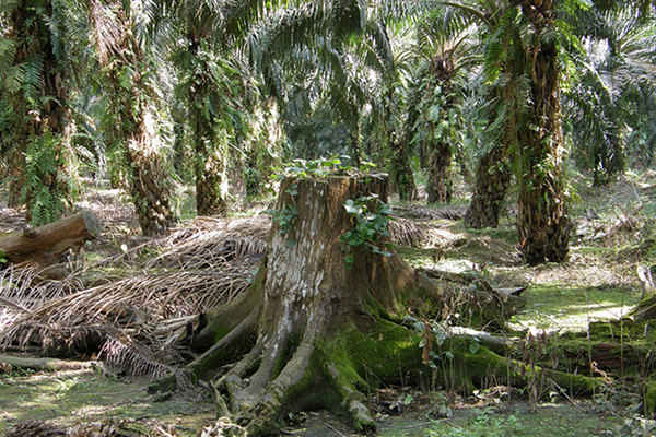 Are You Eating Dirty Oil? The Environmental Impacts of the Palm Oil Industry