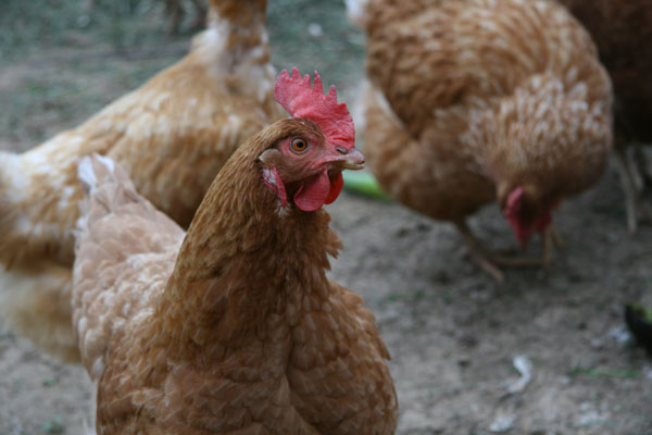 Maryland Becomes First U.S. State to Ban Arsenic in Chicken Feed