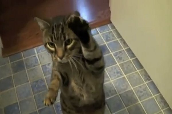 WATCH: A Trained Cat Shows Off His Bag of Tricks