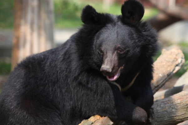 5 Ways You Can Help Animals Asia End Bear Bile Farming