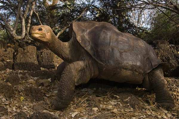 Lonesome George, Last of the Pinta Island Tortoises, Dies