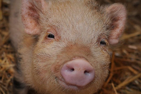 Mercy For Animals Targets Walmart Pork Production