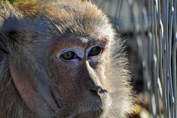 Hundreds of Monkeys Slaughtered for Growing Fat