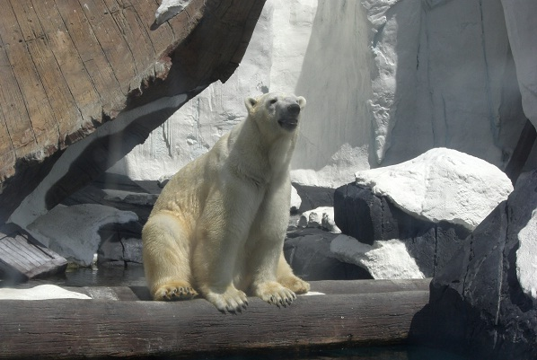 How Global Warming, Hunting and Industrial Exploration Threatens the Polar Bear.