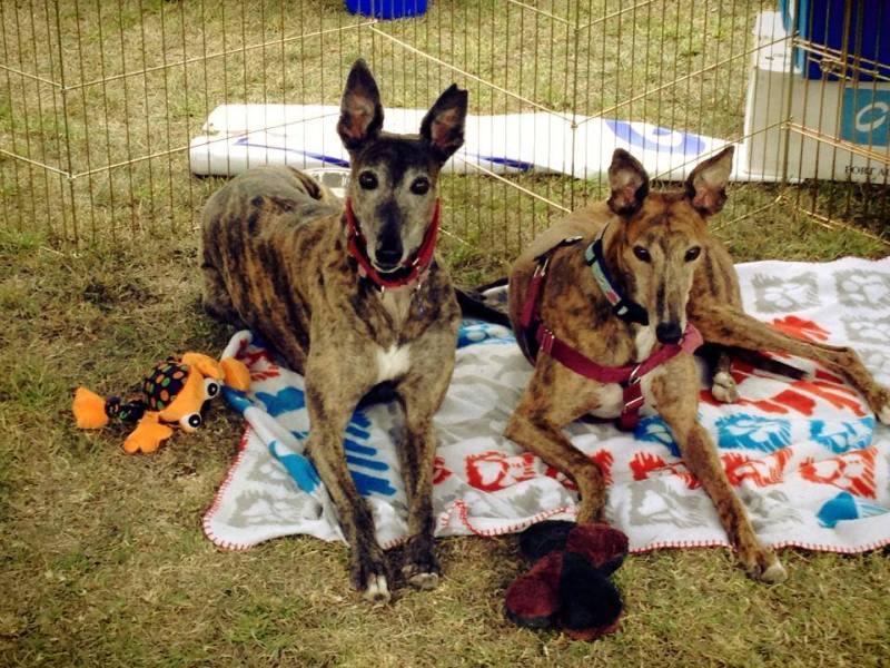 Homestretch Greyhound Rescue