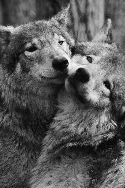 WolfDogs  / Tumblr