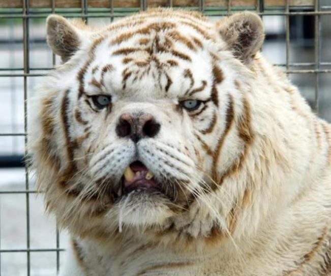Why Breeding White Tigers is a Disastrous Decision and Needs to Stop