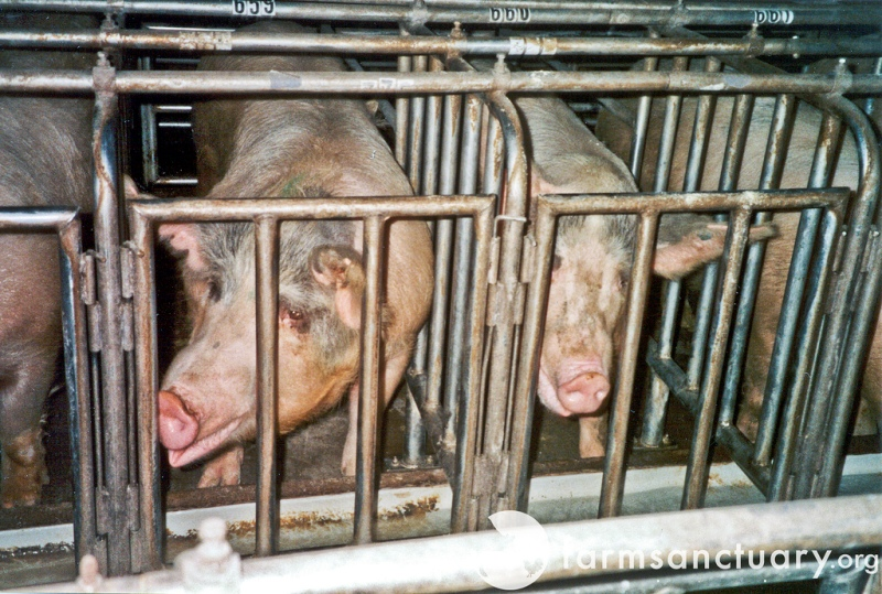 Shocking Images Illustrate Cruel Confinement of Animals on Factory Farms