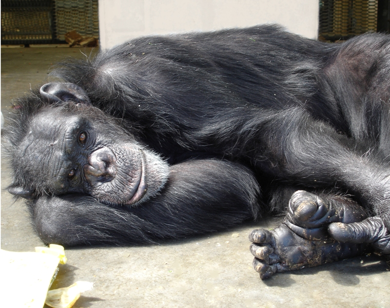 After 23 Years in a Lab, Scarlett the Chimp Now Enjoys a Life of Leisure and Freedom (PHOTOS)